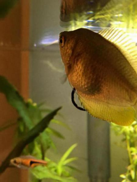 Bump On Fish And Larger Than Usual Poop Tropical Fish Keeping
