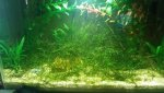 Amano shrimp & Java moss Tank