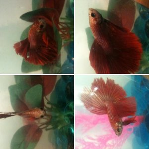 My betta fish