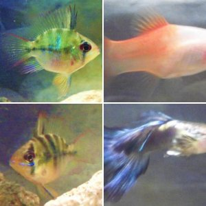 Aquarium fish from America: Central, South, Caribbean