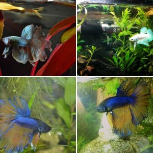 My Bettas