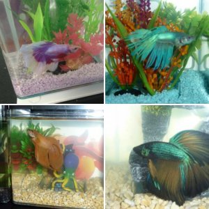 My gorgeous bettas