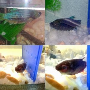 New Bettas Before and After