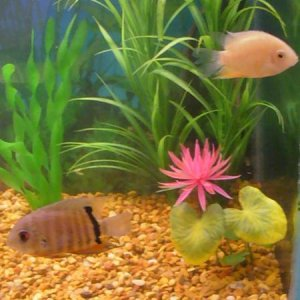our severums and striped raphael catfish