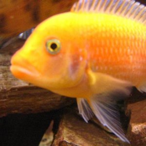 Red Zebra Cichlid - He's actually more orange in person.