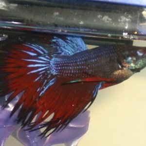 Isn't he cute ; ) And the fin rot shown in this picture is now almost completely gone : )