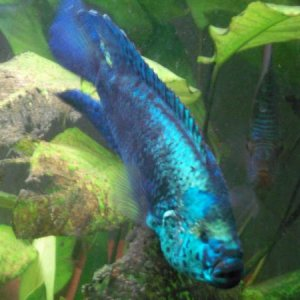 Electric Blue Jack Dampsy