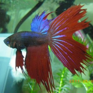 Updated photo to show Leroy's progress back to being a beautiful betta!  May 5, '11