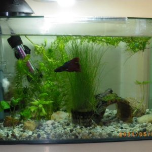 This is Leroy's tank at the moment.... except the pot of hairgrass has been moved to the back right corner.