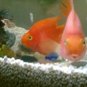 Parrot fish: left: Red, Right: Pinky