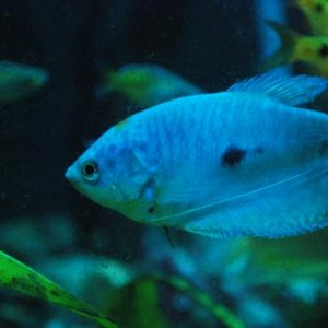 Lucy - Blue Gourami in mid-turn....
