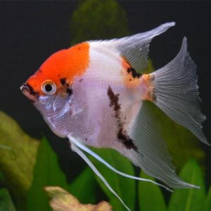 angelfish new koi