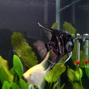 angelfish new dd2