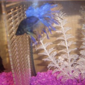MY CROWNTAIL (MADDOG)
