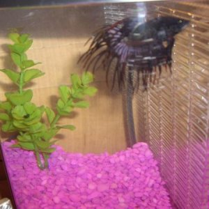 MY OTHER CROWNTAIL (LEROY) HE IS GOOD BUDDIES WITH MADDOG. THEY ARE RIGHT NEXT TO EACH OTHER!!!!!!