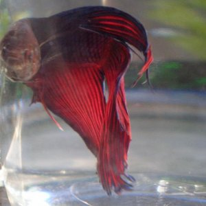 This is Royal Velvet Baby. When you see him in person & in motion he really does look like flowing velvet. He's one of the most beautifull bettas
