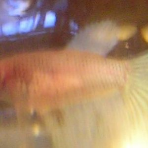 Miss No-Name right now.  What I thought was a non-albino white, turns out she is copper-pink with white fins & tail. This is not a great picture o