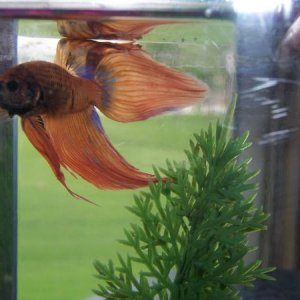 Greg starting to get blue coloring in his fins. (R.I.P. Greg 1-6-12)