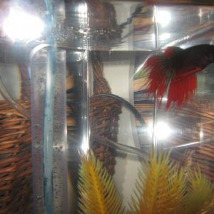Bentley (male CT) my 7 year old nephew's fish adopted 07/11