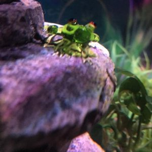 Kai's tank mate - a little glass frog.