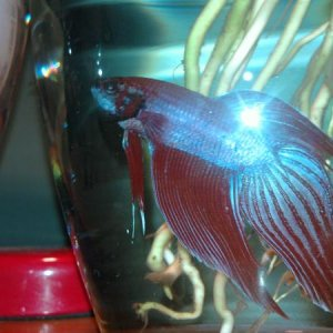 older red one love his colors and his tail and fins they are awesome colors