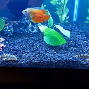 A couple of my fish. The dark Pleco is Popeye and the lighter one is Olive. The Flame Dwarf Gourami is named Crush.