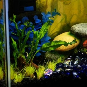 07/29/12 Guppy under his bridge in the blue glass river admiring his new landscape.
