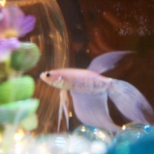 This is Frosty :) He is almost a white color but it has a slight tint of pink to him. And the spots he has are a purpleish color.  Veil tail