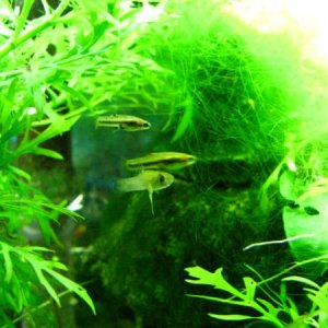 10 gal least killifish tank