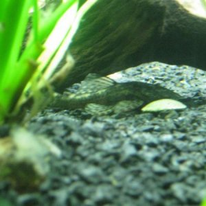 baby pleco eating algae tab