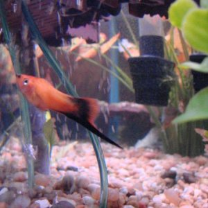 swordtail (hard to take he likes to hide)