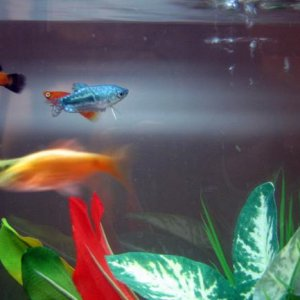 My : 2 platies 1 rosy barb 1 gold barb and 1 opaline gourami!