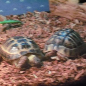Rinoha and Rufus Rinoha is a Russian Tort. and Rufus is a Greek