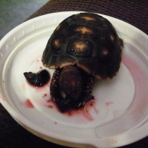 Micko the baby redfoot Tort.