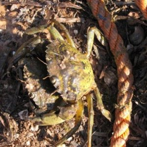 green crabs :( they eat my babies :(