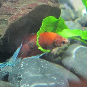 Hunting for molly and platy fry. Nom nom...