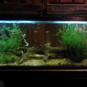 55 skunk botia tank looks like this after the destroyed all the plants lol