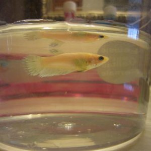 Day 4: Good eater, doing well. Looks like some blue is coming in on her fins.