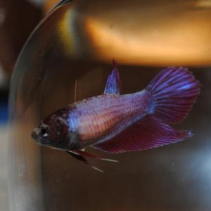 She is very iridescent. She has a light pink/purple body and dark purple fins, but in light she comes off looking blue