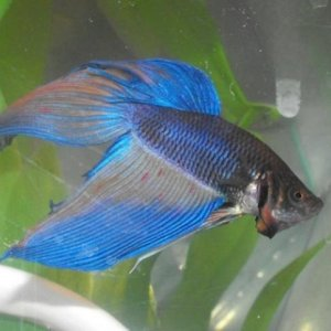 Betta given to my daughter as a gift. We don't know how old he was and he died about a week later. Maybe the move was too much for him.