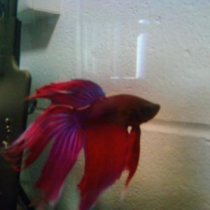 "After ""the incident"", or the day he flared too much and ripped his fins.. right before he decided to chew on them!"