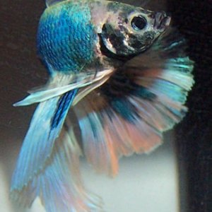 Halfmoon Male Betta