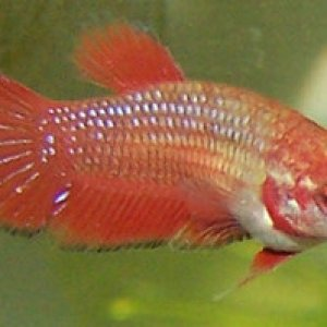 Female Betta