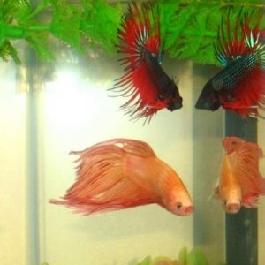 Two Male Betta's, Orange Veiltail, Male Crowntail