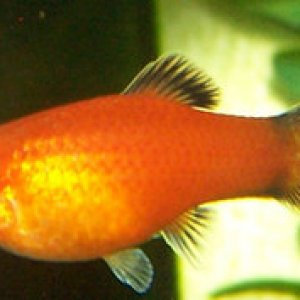 Female Red Wag Platy