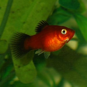Male Red Wag Platy
