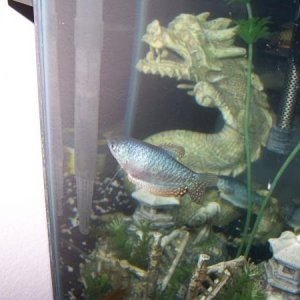 3rd Blue Gourami Female