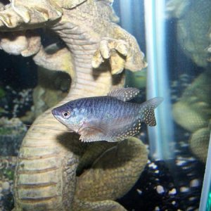 Male Blue Gourami