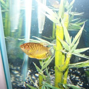 Male gold Gourami