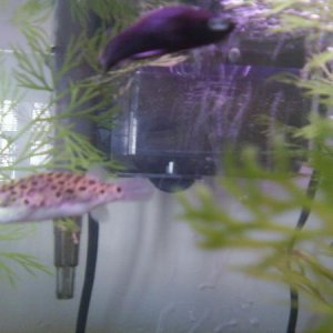 Hard to tell but he's the late male Black swordtail and P.Diddy